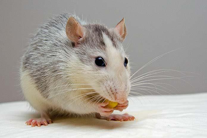 Jak pozbyć się myszy?