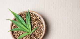 Posiadanie nasion konopi